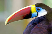 Toucan in the forest, Amazon, Brazil — Stock Photo