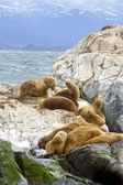 Southern Sea lions resting on the Islands of Tierra Del Fuego, Ushuaia, Argentina — Stock Photo