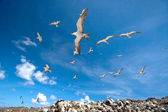Sooty terns flying above breeding grounds, Ascension Island — Stock Photo