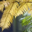 Постер, плакат: Fern leaves in Daintree Rainforest Cairns Australia