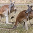 Two Kangaroos pose, Adelaide, Australia. — Stock Photo