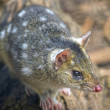 Tiger Quoll (also known as Spot tailed or Spotted tailed Quoll), Tasmania, Australia. — Stock Photo #37576095
