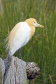 Cattle Egret (Bubulcus Ibis), Australia — Stock Photo
