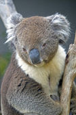Koala looks down from the Eucaluptus tree, Australia — Stock Photo