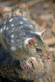 Tiger Quoll (also known as Spot tailed or Spotted tailed Quoll), Tasmania, Australia. — Stock Photo