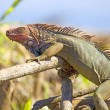 Colourful Iguana sunbathing on the river bank, Punta Arenas, Costa Rica — Stock Photo