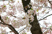 Cherry Blossom in the grounds of the Osaka Castle, Osaka, Japan. — Stock Photo