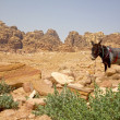 Bedouin donkey resting surrounded by the rose red landscape, Petra, Jordan. — Stock Photo