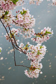 Cherry Blossom in the grounds of the Osaka Castle, Japan. — Stock Photo