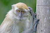 Thoughtful monkey, Malaysia, South East Asia. — Stock Photo