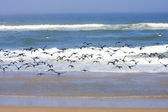Flock of Black Cormorants fly toward the sea, Sandwich harbor, Namibia. — Stock Photo