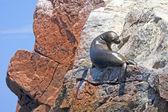 Sea lion sunbathes on the rocks, Palomino Island, Peru. — Stock Photo