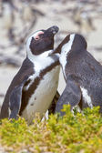 A pair of African Penguins groom each other, on Boulders Beach, South Africa — Stock Photo