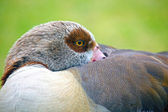 Egyptian Goose at Kristenbosch Botanical Gardens, Kristenbosch, South Africa. — Stockfoto