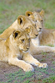 Three lion cubs sit together, Durban, South Africa. — Stock Photo