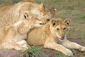 Three lion cubs resting, outside Cape Town, South Africa. — Stock Photo
