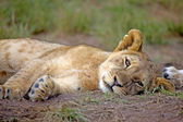 Lion cub resting, outside Cape Town, South Africa. — Stock Photo