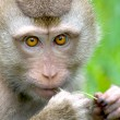 Thai monkey (Macaque) chewing on grass, Koh Samui, Thailand, South East Asia. — Stock Photo