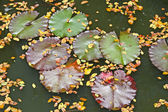 Lily pads, floating on a pond, Japan. — 图库照片