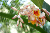 Alpinia zerumbet, commonly known as shell ginger — Stock Photo