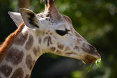 Rothschild's Giraffe portrait (Camelo Pardalis Rothschildi) — Stock Photo