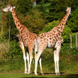 Rothschild's Giraffes - a pair - Giraffa Camelo Pardalis Rothschildi — Stock Photo