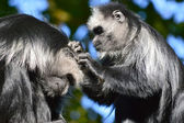 King Colobus Monkey - Colobus Polykomos — Stock Photo