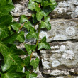 Ivy clinging to old wall — Stock Photo
