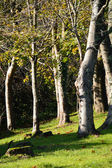 Silver tree trunks in the sunlight — Stock Photo