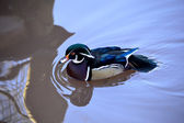 Wood Duck, Carolina Duck (Aix Sponsa) North American Waterfowl — Stock Photo