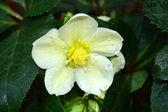Helleborus or Christmas Flower, white, Christmas Rose — Stock Photo