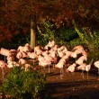 Flamingo Island, Flamingos, (phoenicopterus chilensis) — Stock Photo