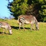 Постер, плакат: Zebras Grazing