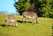 Zebra's grazen — Stockfoto