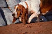 Basset Hound — Stock Photo