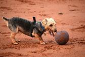 Liten hund, stor boll! — Stockfoto