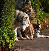 Three Husky Dogs — Stock Photo
