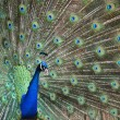 Peacock Fan — Stock Photo
