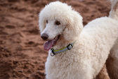 Poodle, Standard White — Stock Photo
