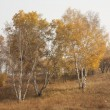 Autumn Birch — Stock Photo #32104049