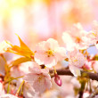 Cherry blossoms in full bloom in the morning — Stock Photo