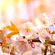 Cherry blossoms in full bloom in the morning — Stockfoto