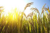 Autumn rice — Stock Photo