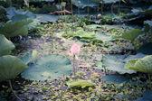 Lotus bloom in summer — Stock Photo