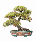 Chinese gardening, elm on a white background — Stock Photo