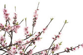 Peach blossom — Stock Photo
