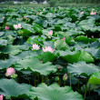 Stock Photo: Lotus bloom in summer