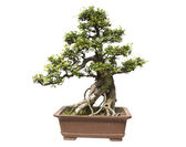 Bonsai tree isolated on white,miniature elm tree — Stock Photo