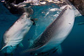 Whale shark feeding, open mouthed — Stock Photo