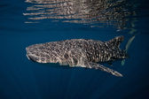 Whale shark — Stock Photo